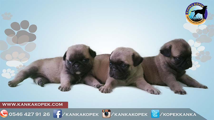 satılık pug yavruları 5