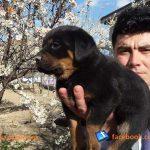 rottweiler satılık 2