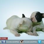 satılık fransız bulldog yavruları 3