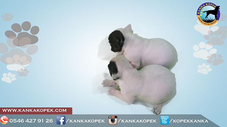 satılık fransız bulldog yavruları 2