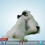 satılık fransız bulldog yavruları 5