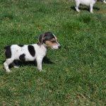 satılık jack russell terrier yavruları 4