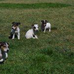 satılık jack russell terrier yavruları 6