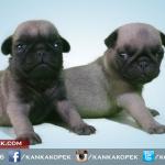 satılık pug mops yavruları 3