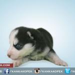 satılık husky sibirya kurdu yavruları