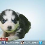 satılık husky sibirya kurdu yavruları 2