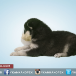 satılık husky sibirya kurdu yavruları 3