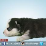 satılık husky sibirya kurdu yavruları 4