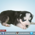 satılık husky sibirya kurdu yavruları 5