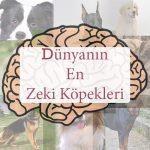 dünyanın en zeki ve en akilli köpekleri