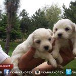 satılık beyaz terrier yavruları 3
