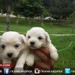 satılık beyaz terrier yavruları 4