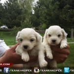 satılık beyaz terrier yavruları 5