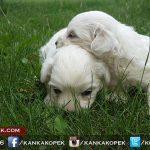 satılık terrier 4