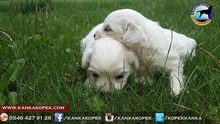 satılık beyaz terrier yavruları 6