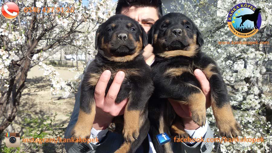 rottweiler satılık 3
