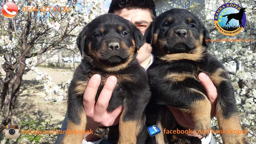 rottweiler satılık 5