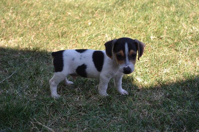 satılık jack russell terrier yavruları