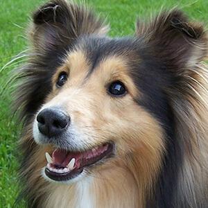 dünyanın en zeki ve en akıllı köpekleri 6