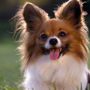 dünyanın en zeki ve en akıllı köpekleri 8
