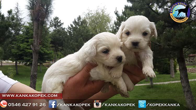satılık terrier 6