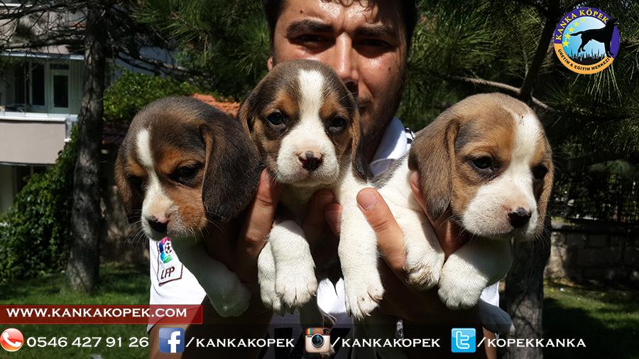 satılık beagle yavruları 12