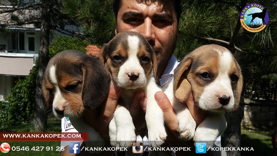 satılık beagle yavruları 13