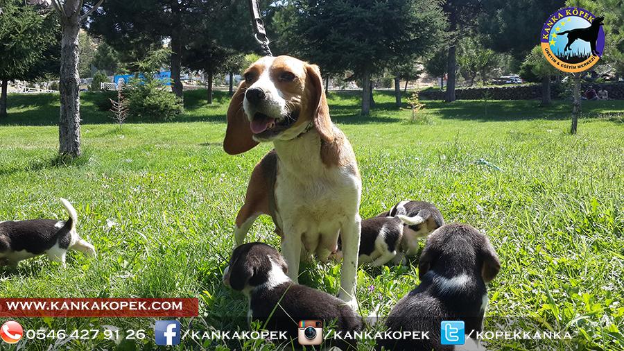 satılık beagle yavruları 29