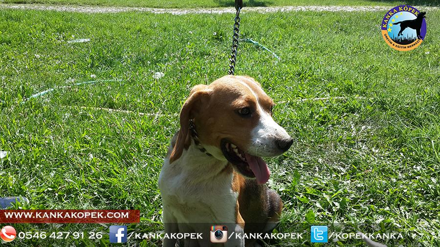 satılık beagle yavruları 36