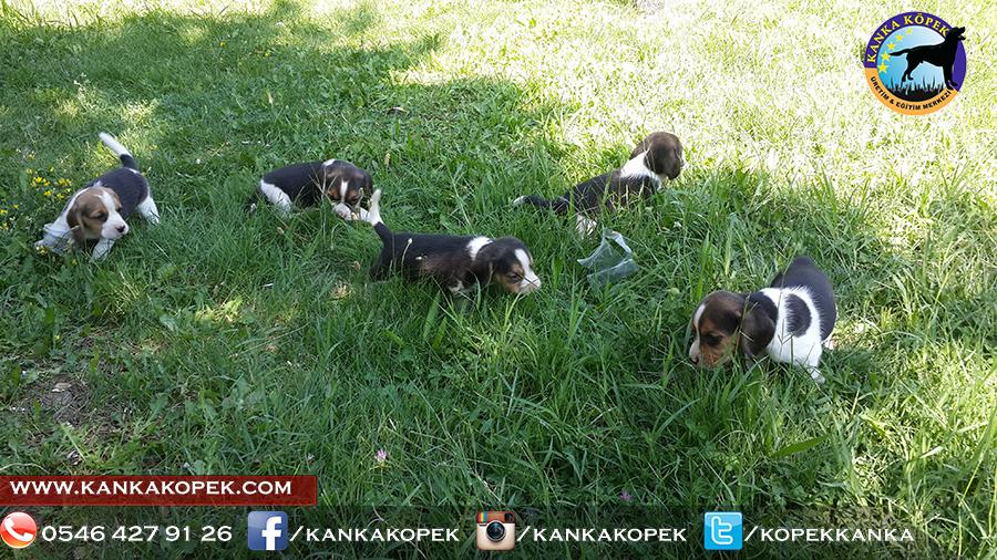 satılık beagle yavruları 38