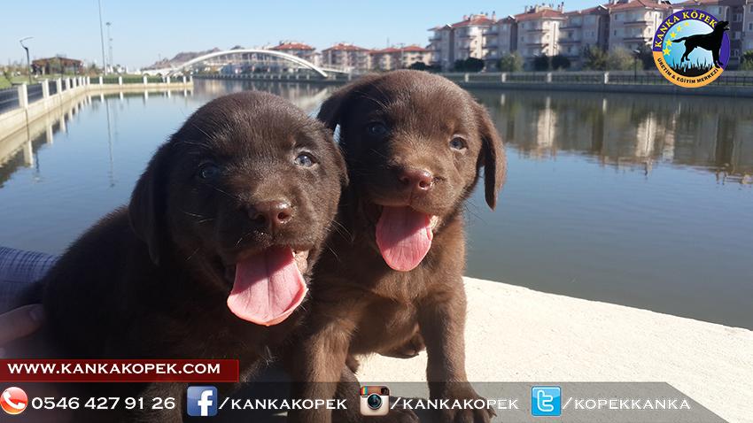 satılık labrador yavruları 10