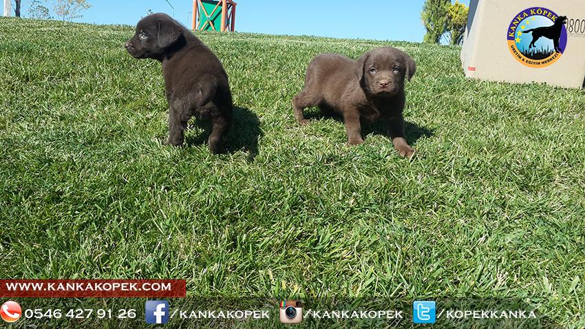 satılık labrador yavruları 14