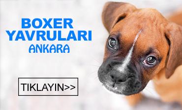 Ankara satılık boxer yavruları