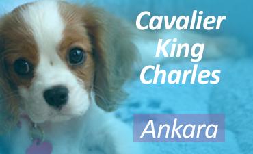 Satılık Cavalier King Charles Ankara