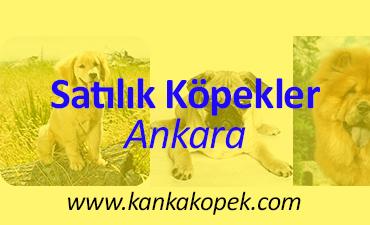 satılık köpek ve satılık yavru köpekler ankara