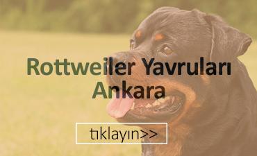 Ankara satılık rottweiler yavruları