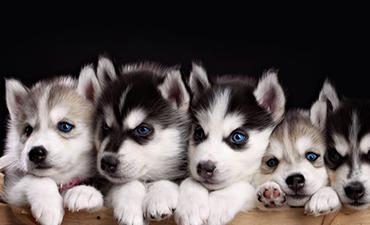 satılık yavru köpekler izmir 12