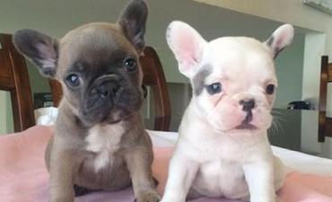 satılık yavru köpekler 13