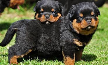 satılık yavru köpekler rottweiler