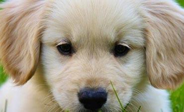 antalya satılık köpek 1