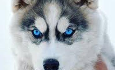 antalya satılık köpek 10