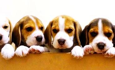 antalya satılık köpek 11