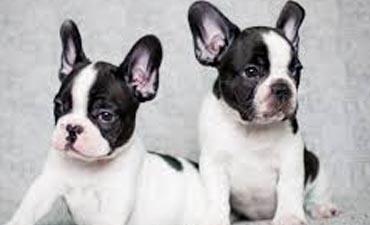 antalya satılık köpek 12