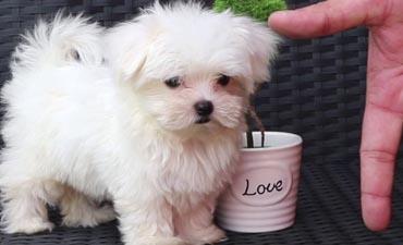 antalya satılık köpek 5