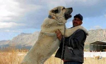 antalya satılık köpek 9